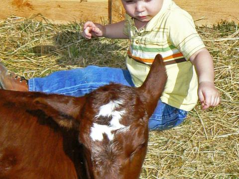 A little boy greets a calf at American West Heritage Center's Baby Animal Days