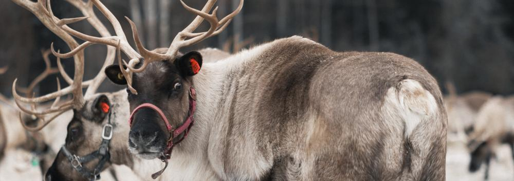 Up close and personal with reindeer in Alaska